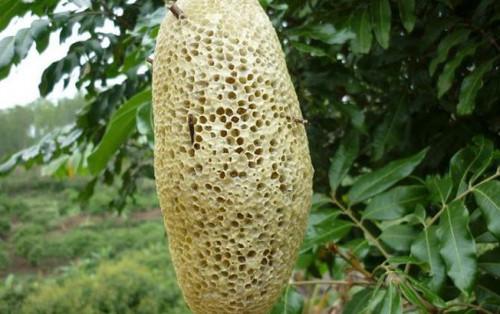 Mật ong rừng – món quà Đà Lạt quý giá