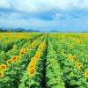 Thông tin mới nhất về cánh đồng hoa hướng dương Nghệ An