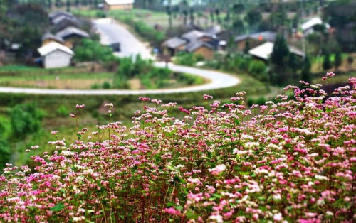 Rủ nhau đến Hà Giang ngắm hoa tam giác mạch tím hồng một góc trời