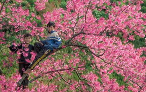 Quên Sapa đi, đầu năm hãy đến Mù Cang Chải ngắm hoa đào nở sớm