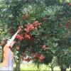 Những vườn cây trái gần Sài Gòn – Địa chỉ không thể bỏ qua hè này