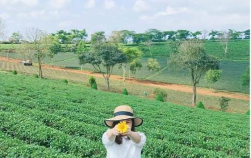 """""""Khám phá"""" đồi chè Tâm Châu bát ngát sắc xanh tại Lâm Đồng"""