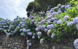 Lạc vào chốn thiên đường mộng mơ vườn hoa cẩm tú cầu Cao Bằng