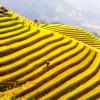 Du lịch Sapa mùa lúa chín đẹp như những bức tranh đầy màu sắc