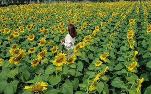 Chẳng cần vào Đà Lạt, ngay Hà Nội cũng có cánh đồng hoa hướng dương rực rỡ tha hồ checkin