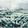 Tuyết trắng giữa Đà Lạt – Mùa hoa cafe nở rộ trắng xóa cả một góc trời