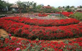 Ngất ngây với cảnh đẹp nơi thung lũng hoa hồng ở Sapa