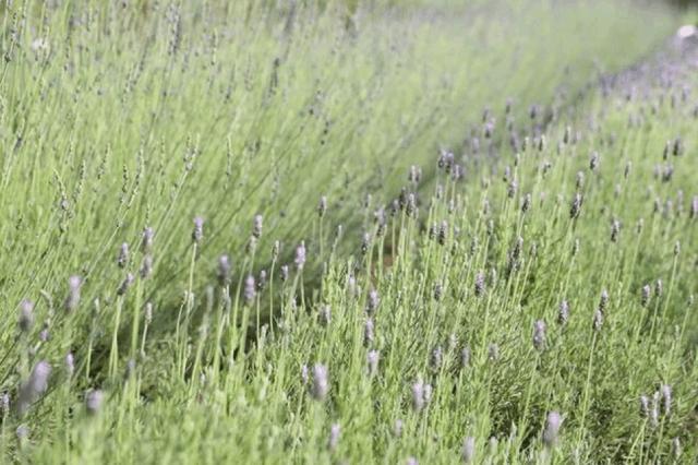 Hoa oải hương vươn mình đón nắng