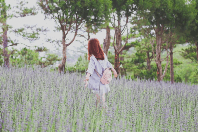 Cánh đồng hoa Lavender ngập tràn sắc tím