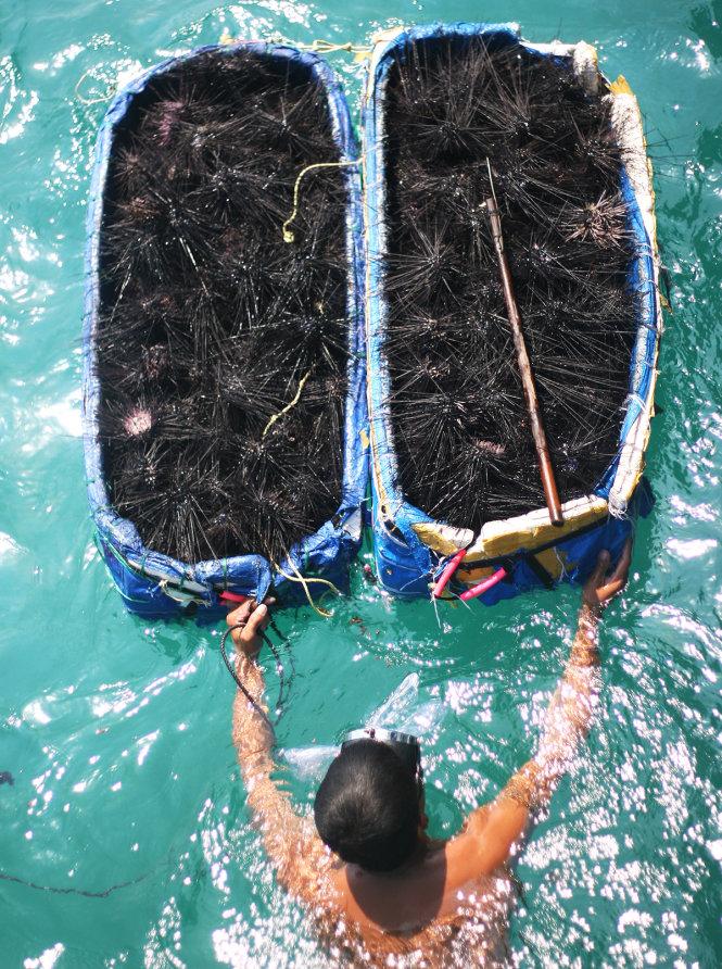 Bắt nhum biển ở Phú Quốc