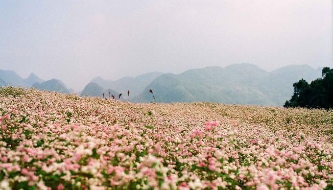Địa điểm chụp ảnh khi du lịch Đà Lạt - cánh đồng hoa tam giác mạch