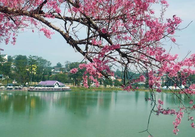 Du lịch Đà Lạt - Mai anh đào nở rộ bên Hồ Xuân Hương
