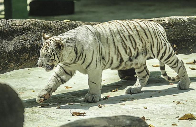 Hổ trắng Bengal quý hiếm