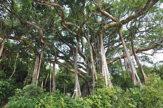 Cây đa ngàn năm - Điểm du lịch ở Đà Nẵng