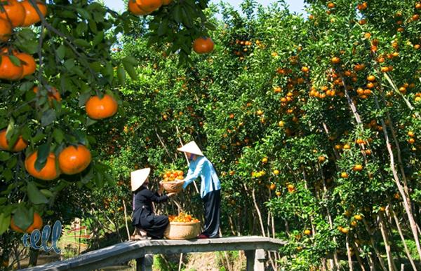 Vườn trái cây ở Cồn Quy (Ảnh: ST)