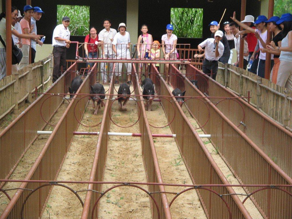Đua lợn ở Mỹ Khánh (nguồn sưu tầm)