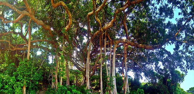 Cây đa nghìn năm sừng sững với những rễ cây khổng lồ