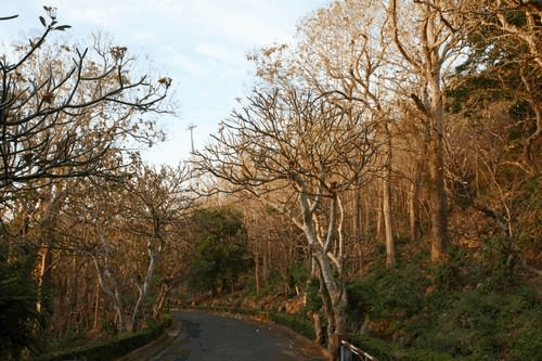 Đường lên Bạch Dinh dưới tán cây giá tỵ (Ảnh: Sưu tầm)