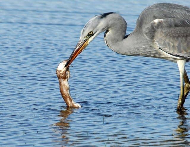 Chim diệc loài sát thủ bắt mồi (Ảnh: ST)