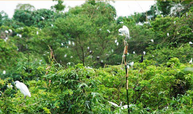 Du lịch Vàm Sát khám phá chim thường làm tổ trên ngọn cây cao (Ảnh: ST)