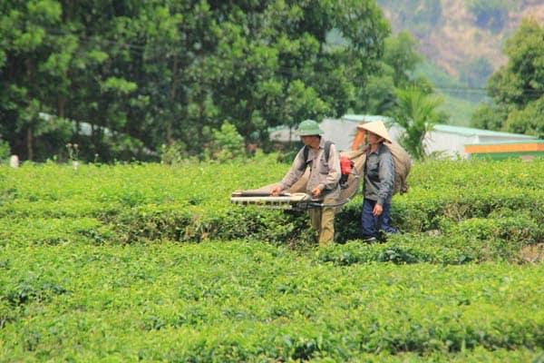 Thu hoạch chè tại Đông Giang (Ảnh ST)