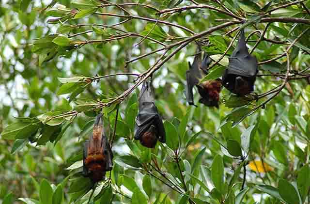 Những chú Dơi treo ngược mình trên cành cây (Ảnh: ST)