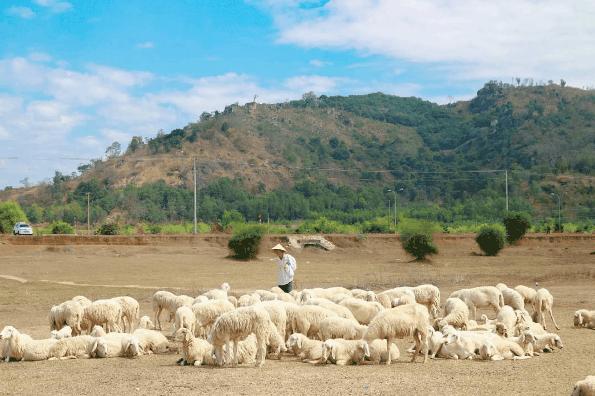 Đàn cừu dễ thương ở Vũng Tàu (Ảnh: ST)