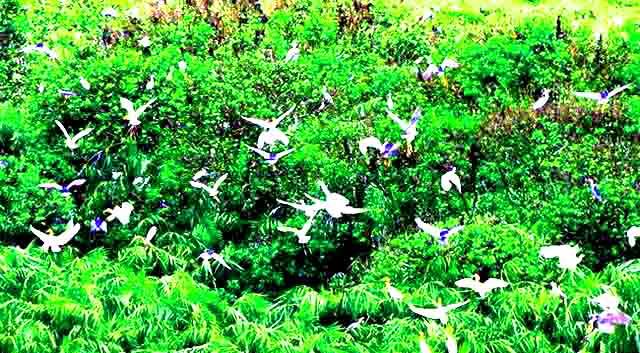 Du lịch vàm sát cần giờ mùa chim sinh sản (Ảnh: ST)