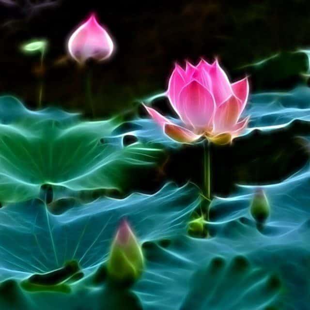 Hương thơm thanh tịnh của Liên hoa như tâm Phật