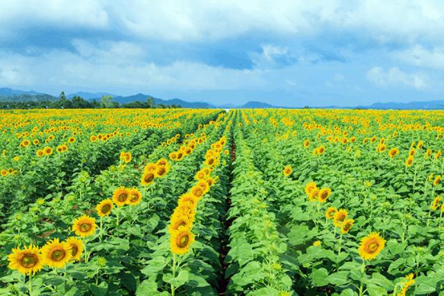 cánh đồng hoa hướng dương tại Nghệ An