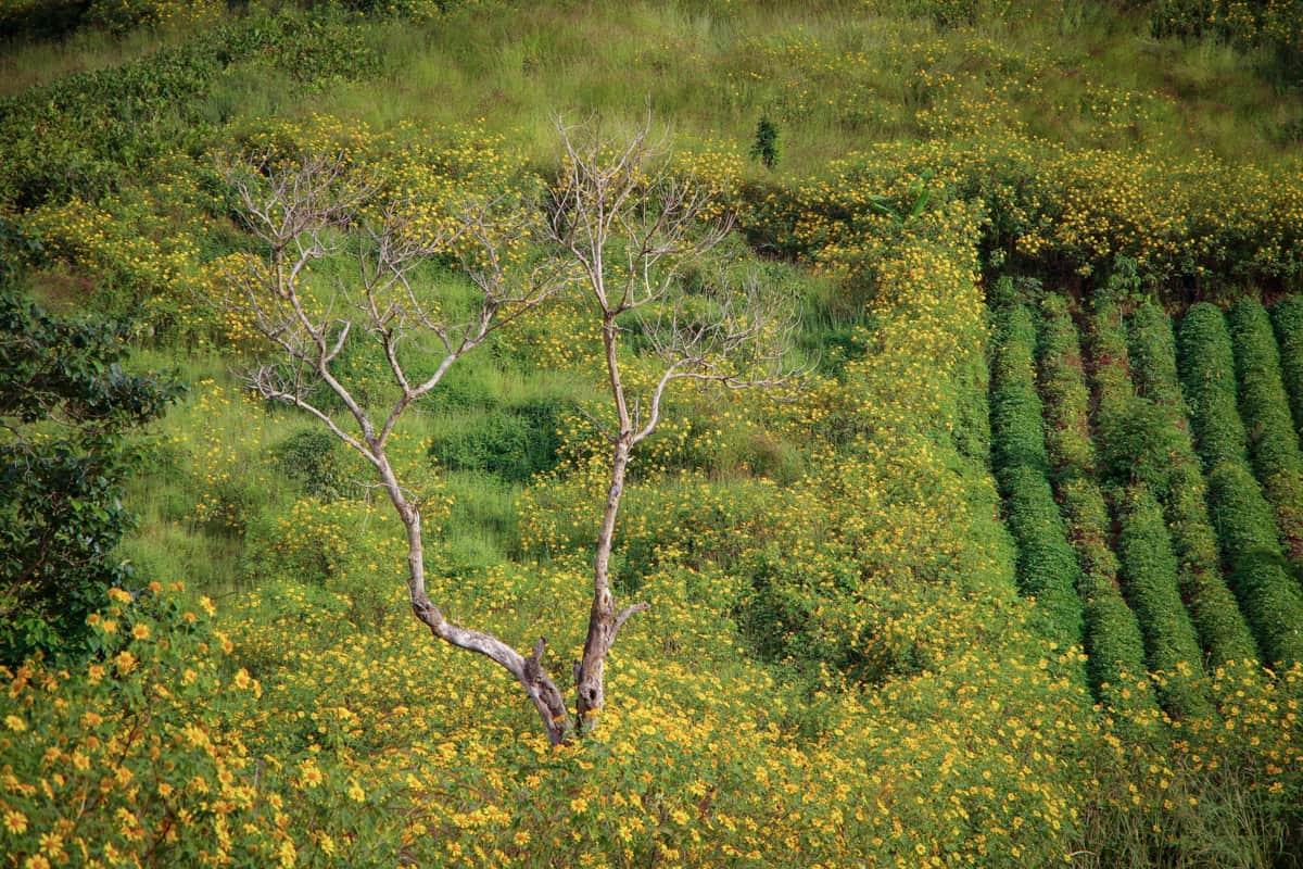 Dưới ánh nắng của mùa thu, những thảm hoa dã quỳ trên núi lại trở nên rực rỡ hơn nữa  (Ảnh: ST)