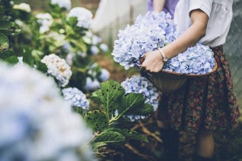 Thung lũng hoa Cẩm Tú Cầu – địa điểm du lịch Đà Lạt hấp dẫn