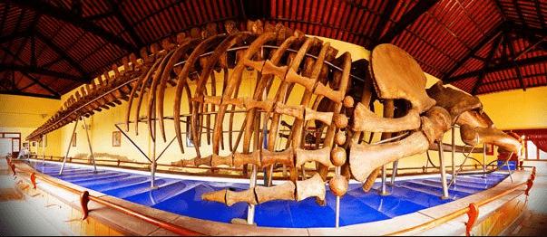 Dinh Vạn Thủy Tú trưng bày bộ xương cá ông khổng lồ