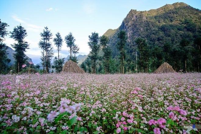 Nhanh chân đến Hà Giang ngắm hoa tam giác mạch tím hồng một góc trời