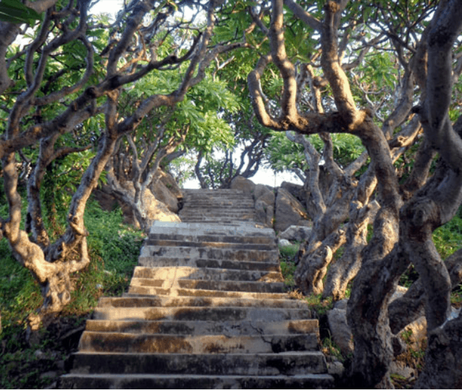 Hàng cây sứ cổ thụ trên đảo Kê Gà