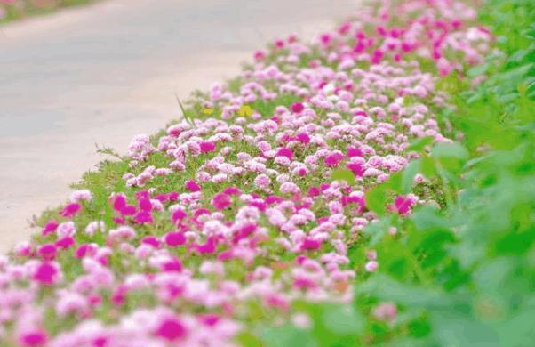 Ngẩn ngơ trước vẻ đẹp lung linh của đường hoa Nguyễn Văn Trị