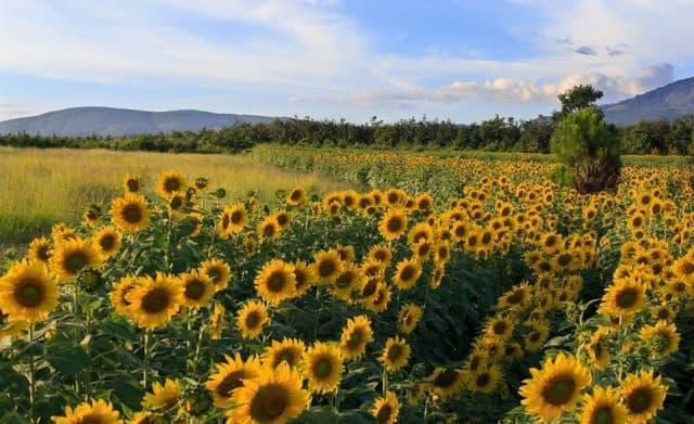 Vườn hoa hướng dương trong nông trại (Ảnh ST)