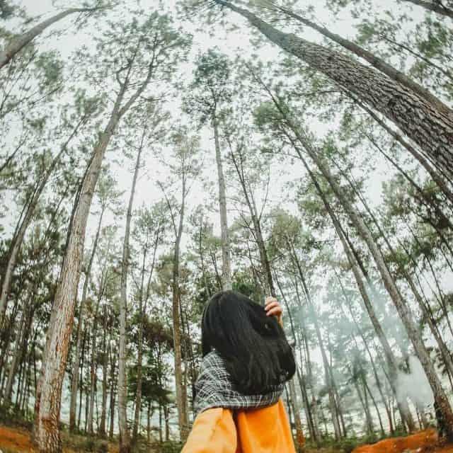 Kết quả hình ảnh cho rừng thông yên minh