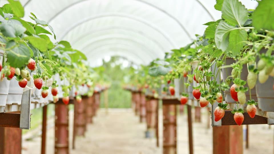 Quên lối về bởi vườn dâu tây Hoa Thắng Thịnh tuyệt đẹp