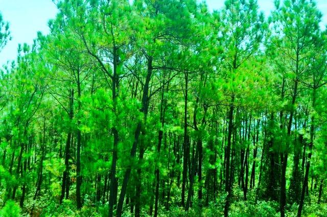 Mê mẩn trước rừng thông xanh ngát (Ảnh: ST)