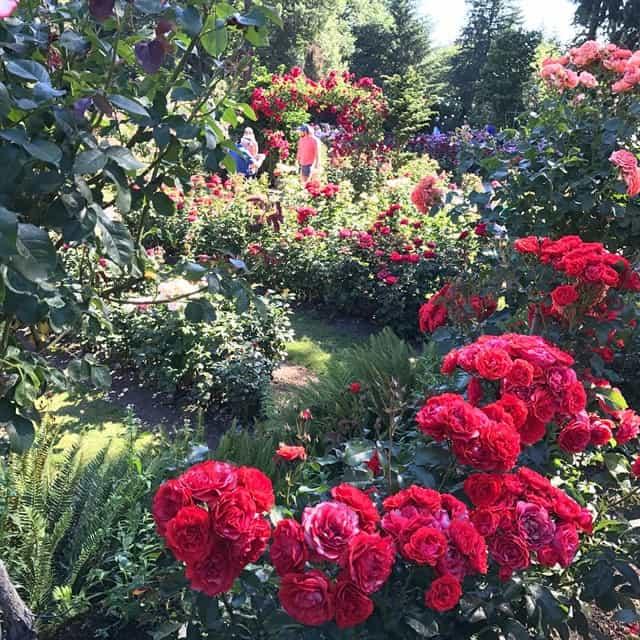 công viên hoa hồng rosr part long biên