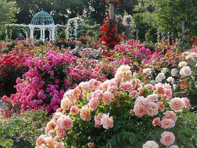 Công viên hoa hồng ở Long Biên (ảnh ST)