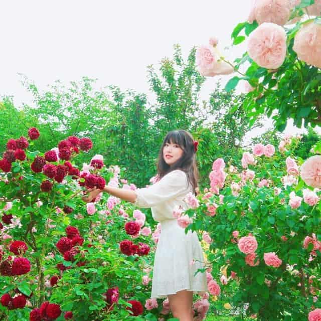 Vườn hồng rose part Long Biên (ảnh st)