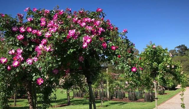 công viên hoa hồng rose part
