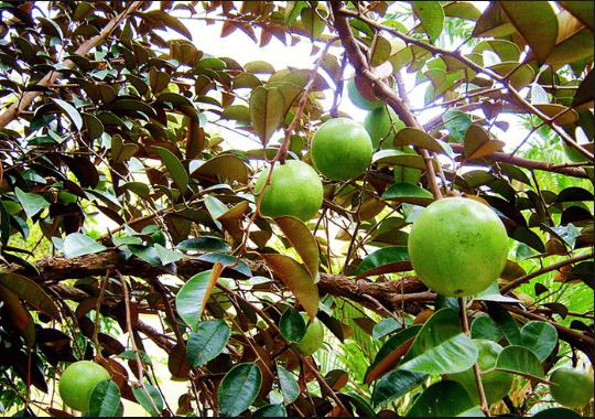 Vú sữa là loài cây được đánh giá là đáng thử nhất khi đến vườn trái cây Vĩnh Kim